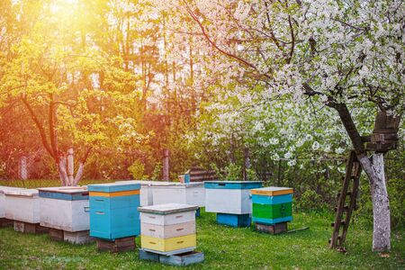 sunset over apiary in spring. Flowering cherry with pollen for development of bees in April. Primroses near hives with copper bees. Beekeeping like business Фото со стока