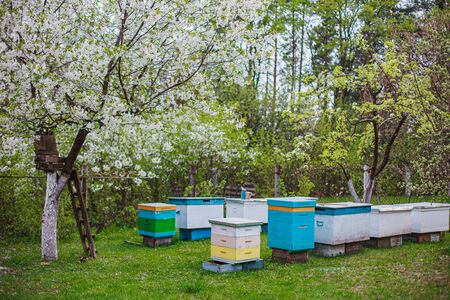 New hives on the apiary in the spring in April near flowering trees. Paseka with uteruses for artificial insemination. Beekeeping on the homestead.