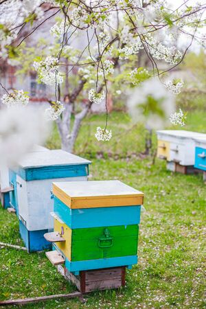 Cherry orchard with apiary on green grass. Blossoming white cherry in April next colorful hives Фото со стока