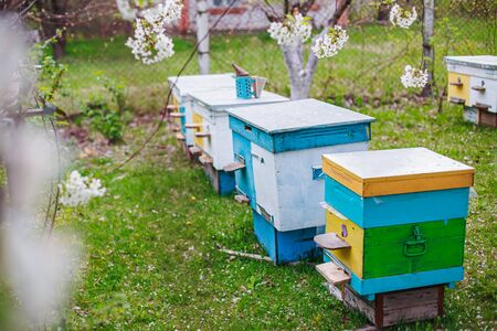 Rows of hives under branches with cherry blossoms. Apiary in the spring in aperil. Honeybees collecting pollen from white flowers in garden.
