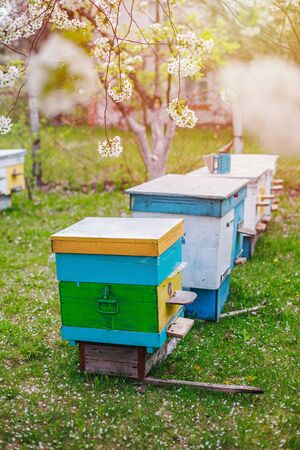 Beekeeping in spring in April. Preparing bees for honey harvest. Collect pollen from cherry blossoms in the garden at cottage.