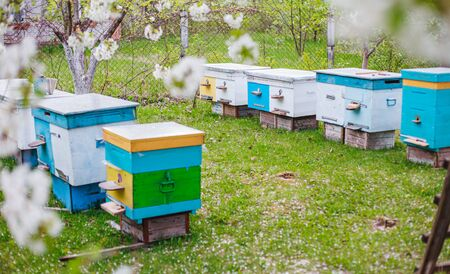 Bees in hives in cherry orchard with flowering white cherries in Ukraine. European bees under branches with white cherry flowers. Apiary on green grass strewn with white petals
