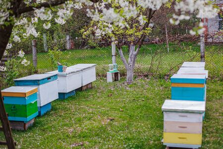 Blue, yellow, white hives with tribal honey bees on apiary. Cherry branches with white flowers over hives