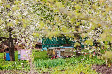 Old wooden hives on apiary among flowering cherries. Branches with white flowers in spring. Apiary with honey bees in April.