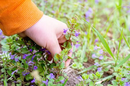 Hand sticking one flower Glechoma hederacea, Nepeta glechoma Benth., Nepeta hederacea. Collecting medicinal plants in Europe's ecologically clean forests