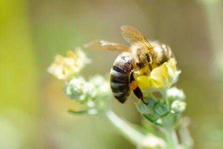 bee collects nectar from Potentilla erecta, Tormentilla, Potentilla laeta, tormentil, septfoil or erect cinquefoil . Honey Plant. Natural background. Summer concept. Selective focus Reklamní fotografie