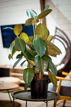 Green ficus in pot against the background of modern chalet-style apartment. Winter garden in house. concrete plant on coffee table