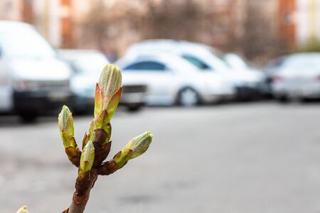 Bud on a tree horse chestnut in spring in background of cars. plants in city. Greening yards.