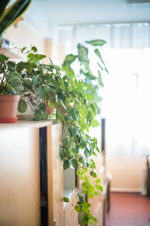 cissus rhombifolia Room plant of lyan in pot on cupboard against background of window
