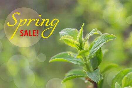 Text SPRING SALE first green leaves on tree in nature background close up