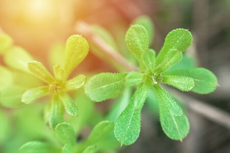 Galium aparine cleavers, catchweed, stickyweed, robin-run-the-hedge, sticky willy, sticky willow, stickeljack, and grip grass use in traditional medicine for treatment. Soft focus. Film grain. Stock Photo