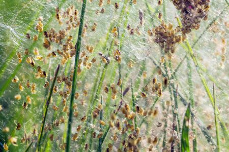 Baby spiders being born. Amazing nature. Spiders spin out. black little spiders. Stock Photo