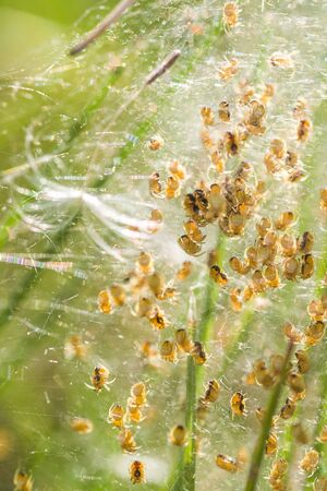 Huge amount of small yellow-black spiders, macro picture