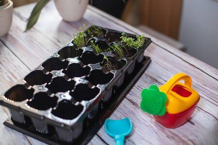 桌子上放有发芽的芝麻菜的育苗板。为苗圃种植幼苗。