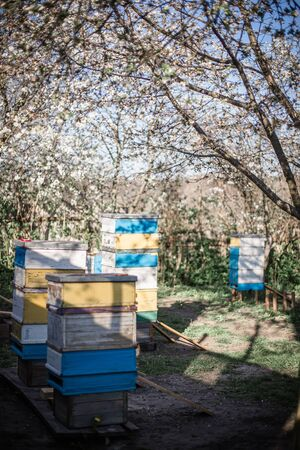Old mobile hive on apiary. Flowering cherry with pollen for development of bees in April. Primroses near hives with copper bees. Beekeeping