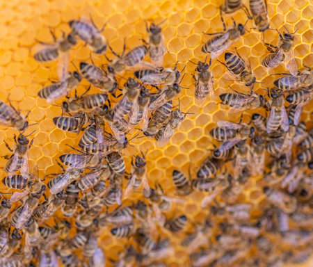 Bees on the honeycomb, top view. Honey cell with bees. Apiculture. Apiary. Wooden beehive and bees. beehive with honey bees, frames of the hive, top view.