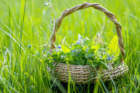 Veronica persica, bird's-eye, or winter speedwell In wicker basket at collection point of medicinal herbs. plant used in medicine and homeopathy.