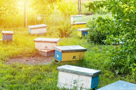 hive swarm, make increase from colony, make up nucleus, nuc hive rearing. Yellow hives for cuttings of honey bees nucleuses in garden among grass