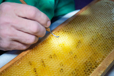 Larva of bee, selected for growing queen bee. Tool for picking larvae from honeycombs on a frame. Honeybee Queen Grafting from Larvae into DIY Queen Cups. Selestive focus.