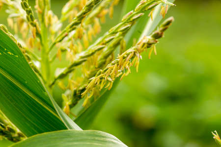 Green young corn, Maize, Zea mays on field in summer. Many small male flowers make up male inflorescence, called tassel.