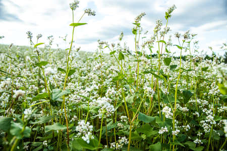 Buckwheat, Fagopyrum esculentum, Japanese buckwheat and silverhull buckwheat blooming on the field. Close-up flowers of buckwheat 版權商用圖片