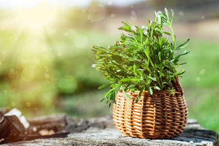 Galium aparine cleavers, in basket on wooden table. plant is used in ayurveda and traditional medicine for poultice. grip grass Plant stalks close-up In spring. Stock Photo