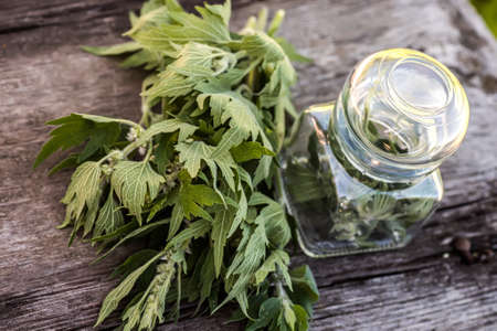 Leonurus cardiaca, motherwort, throw-wort, lion's ear, lion's tail medicinal plant. Transparent glass jar with condemned herbal. Ingredient for cosmetology and non-traditional medicine.