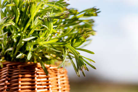 Galium aparine cleavers, in basket on wooden table. plant is used in ayurveda and traditional medicine for poultice. grip grass Plant stalks close-up In spring.