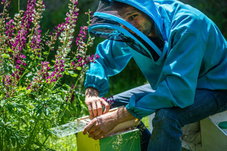 beekeeper looks at bee in box in apiary. Extracting honey from the behive. To hive a swarm, to make increase from a colony, make up nucleus, rearing, rotating brood, to run a bee-yard