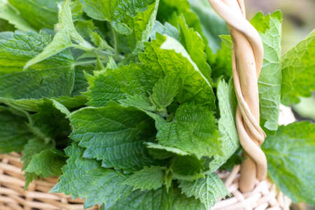 Lamium album, white nettle or white dead-nettle do not sting Collected in basket. Collecting medicinal herbs. 免版税图像