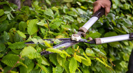 Garden scissors hand cut leaves on bushes. Formation of crown of ornamental trees. Hedge