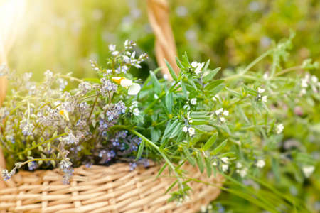 bouquet of medicinal plants in basket. Fumaria officinalis, Myosotis stricta, Ranunculus repens collected for the preparation of potions and infusions of medicinal herbs in the summer during flowering, Soft focus