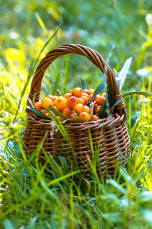argousier fruit, alternative medicine preparation. Soft focus.