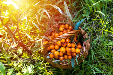 basket of sea buckthorns. in grass during training camp in Environmentally clean place. Vitamins for vegetarians and vegans 免版税图像