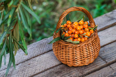 Yellow berries Hippophae and leaves. basket of sea buckthorns. Harvest sallowthorn. Collecting ripe berries seaberry for medicinal plants and cooking infusions and sandthorn tea. Top view