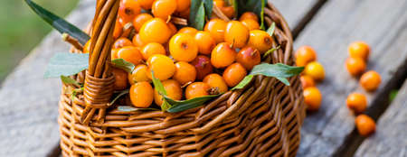 Yellow berries Hippophae close up. Macro. seaberry for preparation of medicinal plants and cooking infusions and sandthorn tea. Soft focus 免版税图像