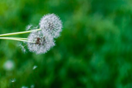 Dandelions on soft green background. Selective focus. Copyspace