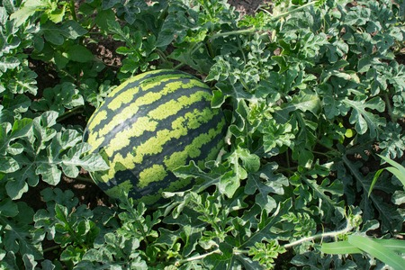Green watermelon growing in the garden Stock Photo
