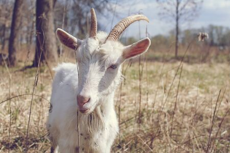 Goat with horns, White goat on head and neck, Goat in the field.