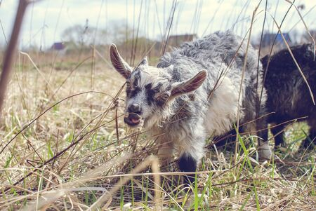 Cute Goat baby with little horns, White goat baby on head and neck, Goat in the field.