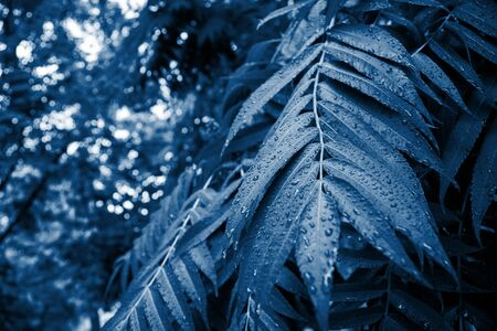 Classic blue toned leaves with water drops. Tropical tree background