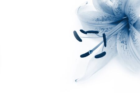 Closeup of classic blue toned lily on white background. Copyspace. Macro 版權商用圖片