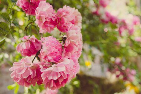 Pink rose closeup in spring garden 版權商用圖片