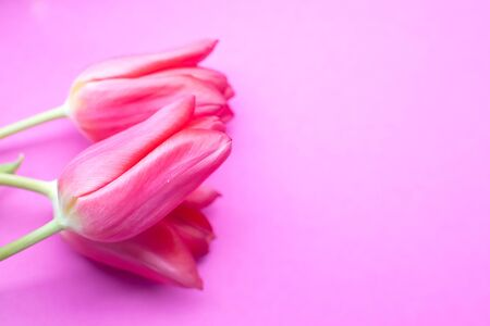 Beautiful pink tulips on pink background. Spring background. Copyspace. Close up. Selective focus