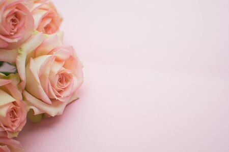 Pink roses on pink background. close up. selective focus 版權商用圖片