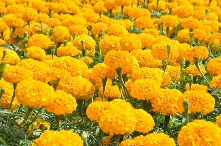 group of orange flower Stock Photo