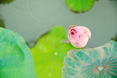top view of one lotus in the pond
