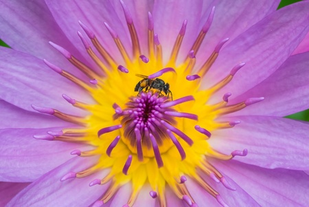 one bee on yellow violet lotus closeup photo