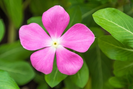 one pink flower on green background Stock Photo