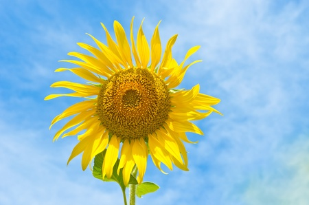 one sunflower in the sky Stock Photo